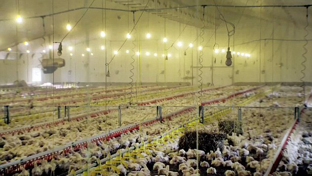 The thousands of chickens live together in huge sheds for just 35 days before they are gassed