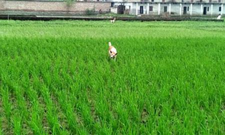 Aush paddy transplantation completed successfully in Rajshahi region