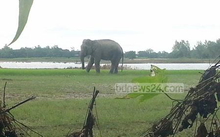 Wild elephant breaks shackles