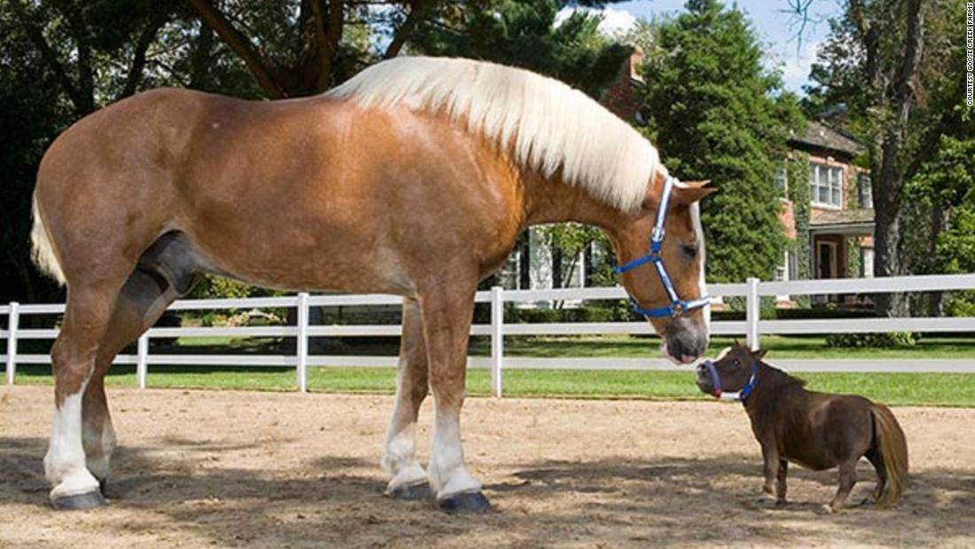 Meet World's tallest and smallest horses