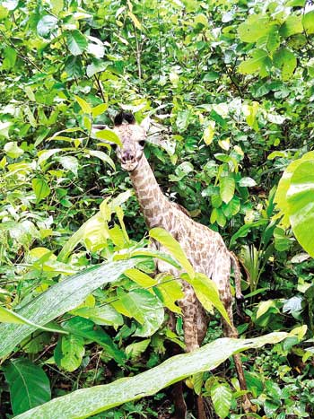 The photo shows a baby giraffe born at Bangabandhu Sheikh Mujib Safari Park in Sreepur Upazila of Gazipur on August 31 last. Considering the animal's security, the park authority disclosed its birth news on Thursday.	Photo: Faisal Ahmed