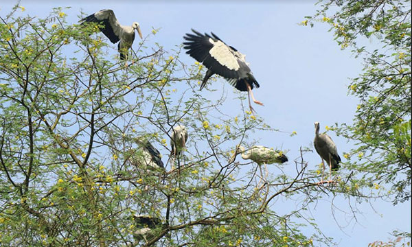 Openbill stork: Beauty of Rajshahi nature