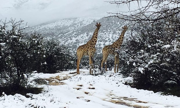 Giraffes in the snow in the Karoo region of South Africa. Photo: The Guardian