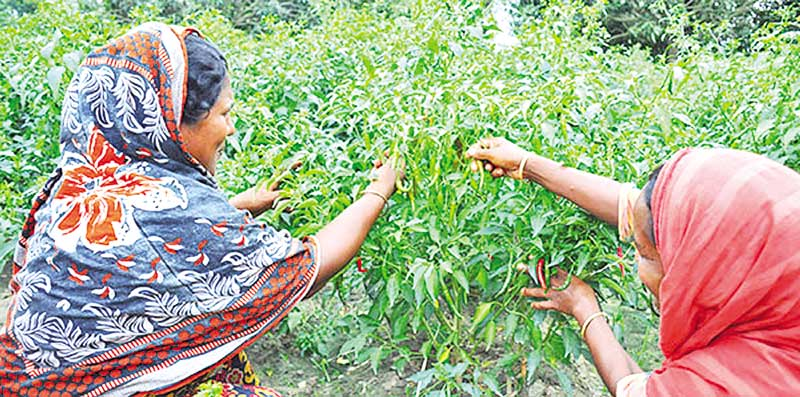 Green chilli farmers frustrated for price fall in Rajshahi