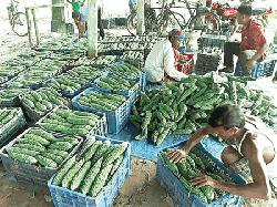 Early variety winter vegetables of Thakurgaon going abroad