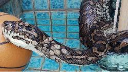 Python with 500 ticks found