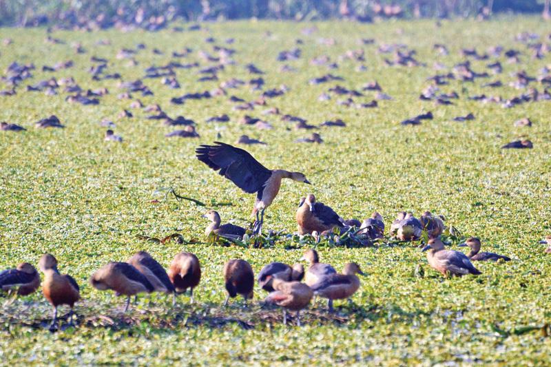 Migratory birds start arriving in Pabna