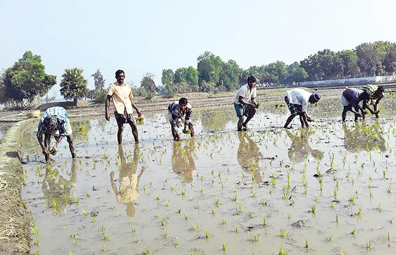 Farmers busy farming Boro paddy in Bogura