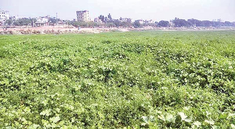 Green crops increase beauty of Padma char