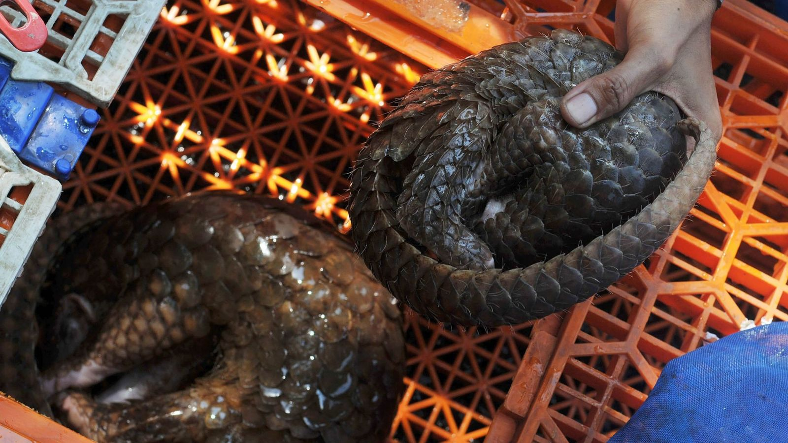 Record seizure of 'world's most trafficked animal'