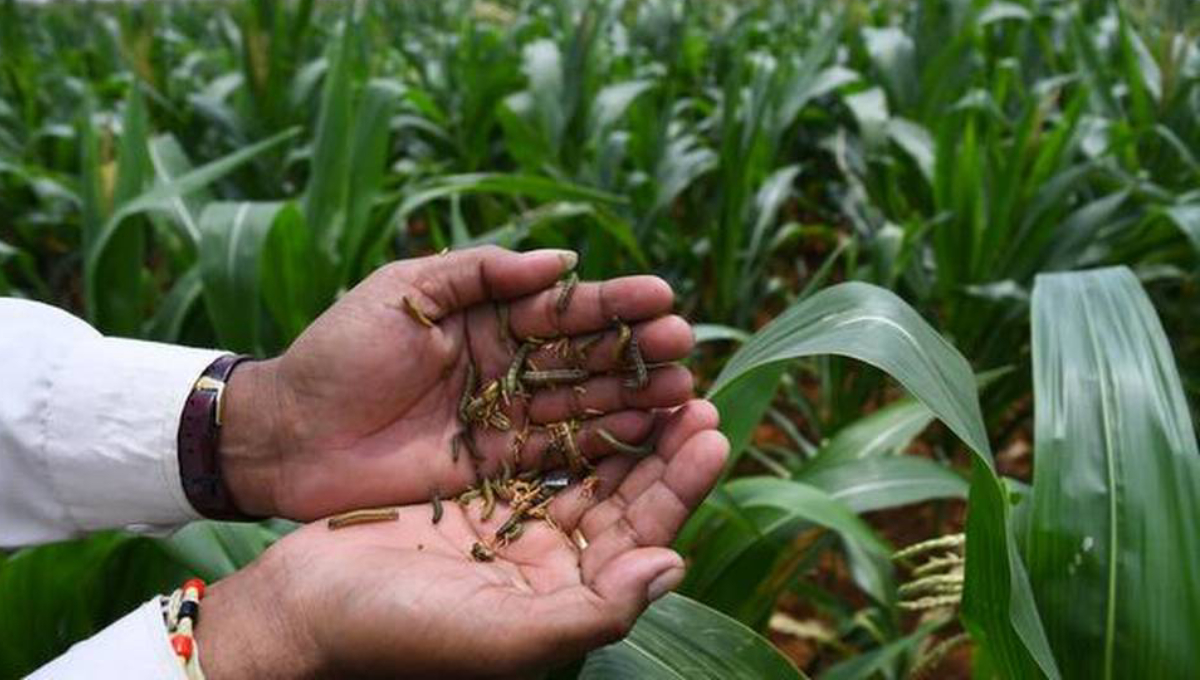 Bangladesh in threat of armyworm, say scientists