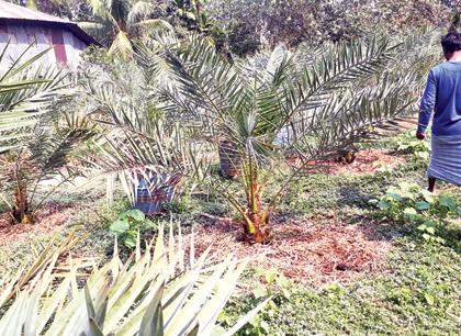 Successful gardening of desert date at Bauphal