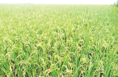 Bumper Boro yield likely at Tanore