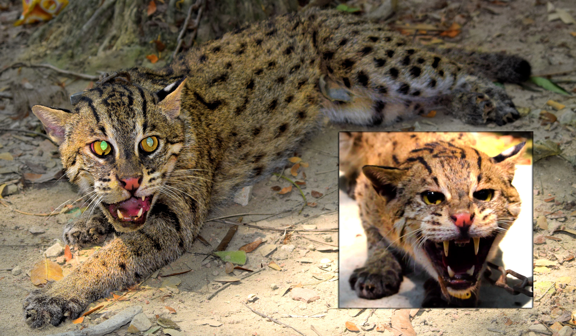 Fishing cat rescued