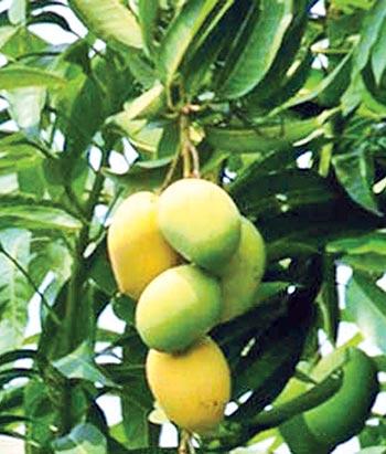 Bumper mango yield likely in Rajshahi