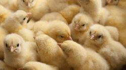 German court rules mass-killing of male chicks legal