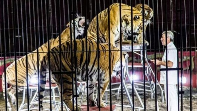 Circus tigers maul trainer to death