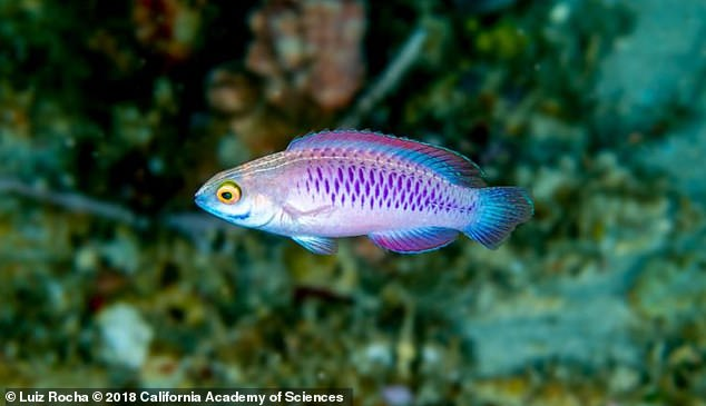 A Sydney-based expert has helped confirm a dazzling new species of fish discovered more than 60 metres beneath the ocean's surface off the coast of Tanzania