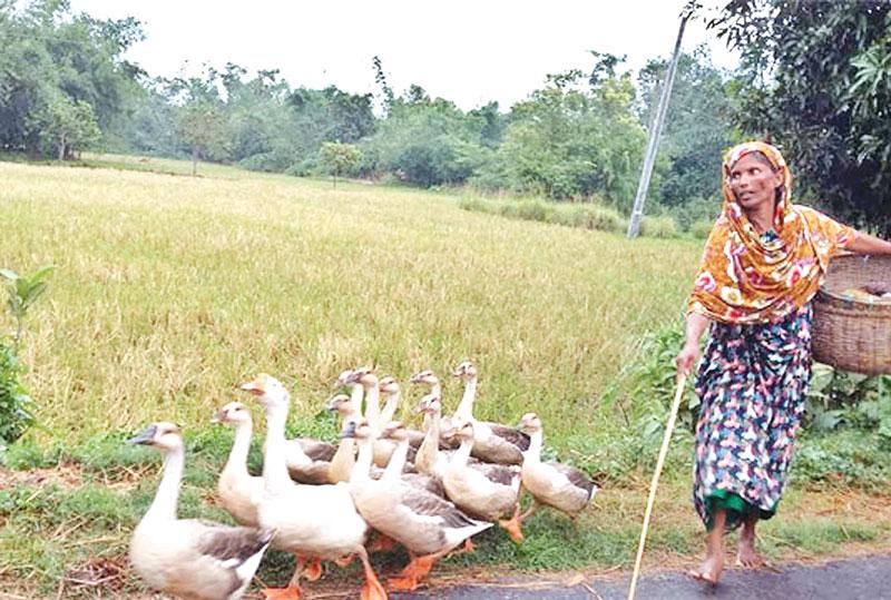 Commercial duck farming gains popularity in Rajshahi