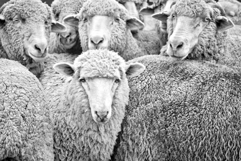 Australian wool prices a casualty in US-China trade war