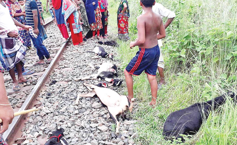 Locals found goats crushed under the wheels of a train near Darshana Railway Station in Damurhuda upazila of Chuadanga on Saturday.	photo : unb