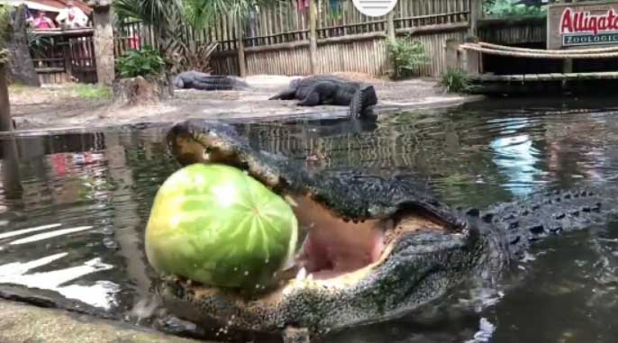 Alligator smashes watermelon in a single bite