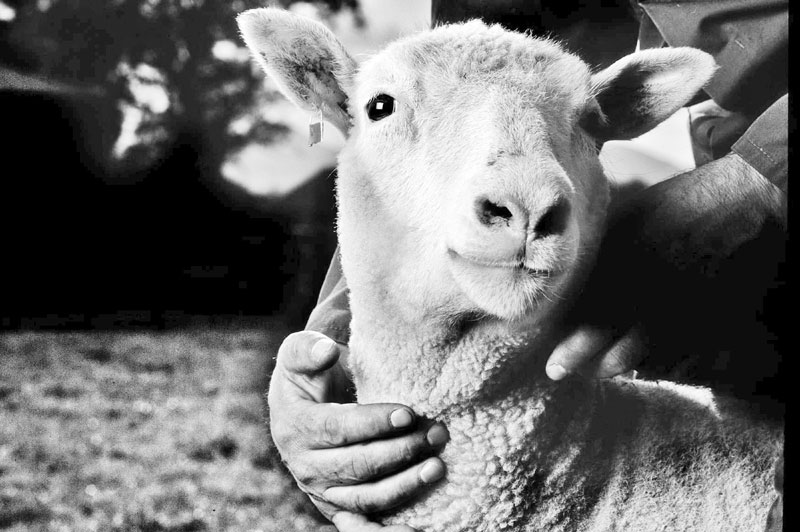 Mutant sheep are being bred in lab to fight lethal child brain disease