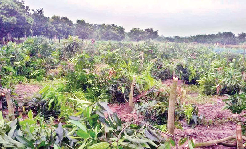 Miscreants cut down about 350 mango trees