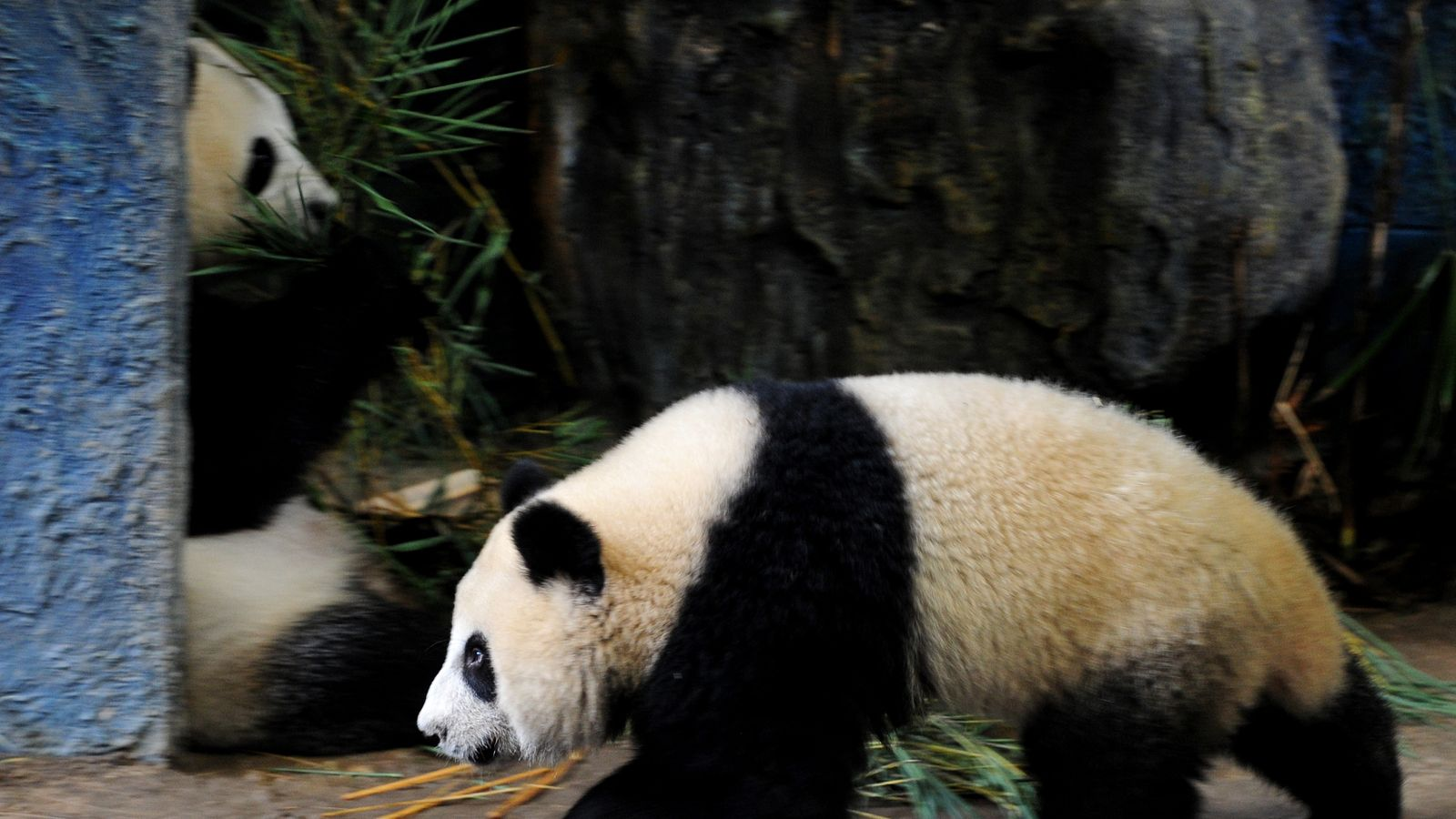 Giant panda dies suddenly at Thai zoo