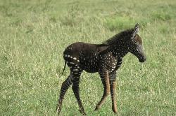 Incredibly rare polka-dotted Zebra spotted