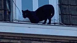 Black panther found prowling on rooftops