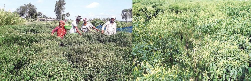 Farmers change lot cultivating chilli at Raninagar