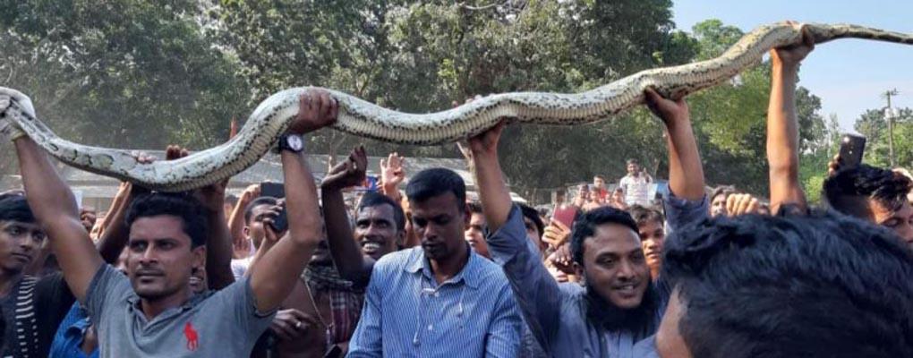 Nine-foot python rescued