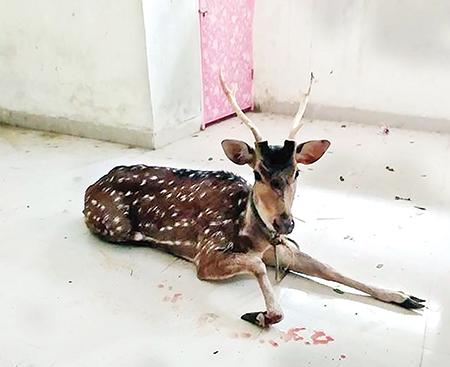 Deer rescued in Bagerhat