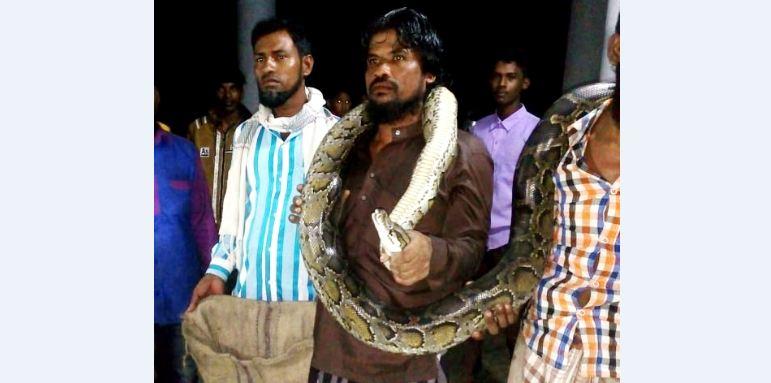 10-feet-long python rescued in Rangabali