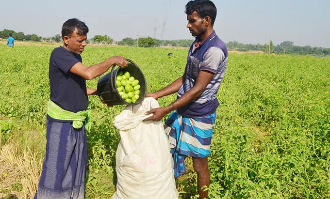 Tomato cultivation declines in Rajshahi