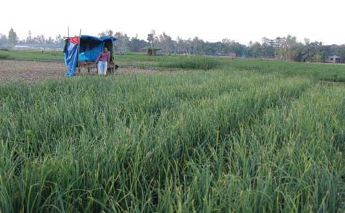 Farmers guarding onion fields!