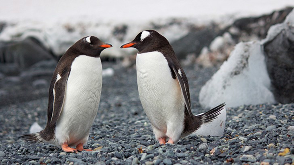 The gift to win a penguin's heart