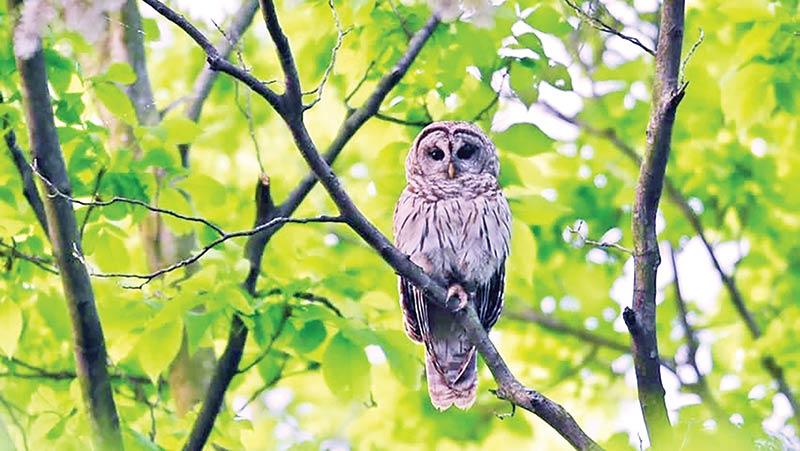 Hooting of night-owls