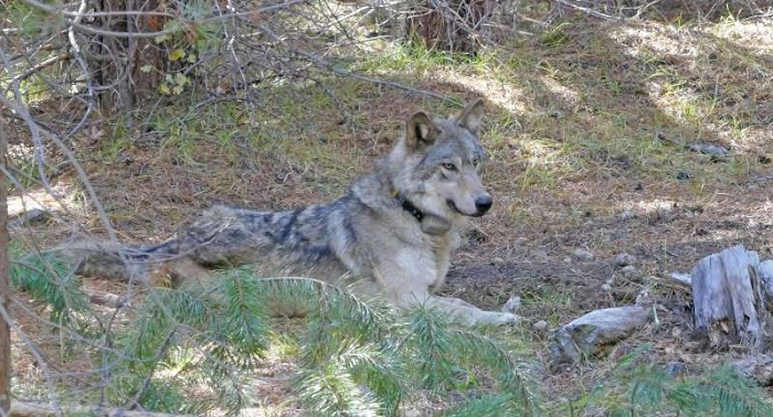© US Fish and Wildlife Service/US Fish and Wildlife Service/TNS After they put a GPS tracking collar on her in 2017, Oregon biologists took this photo the wolf they labeled OR 54. She was found dead in February 2020 in Shasta County after making a remarkable 8,500 mile journey looking for a mate though three states