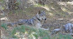 Lone wolf traveled 8,700 miles looking for a mate