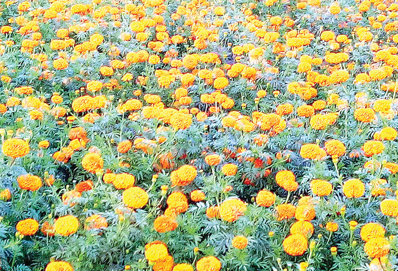 Flower proves more profitable than paddy in Sirajganj