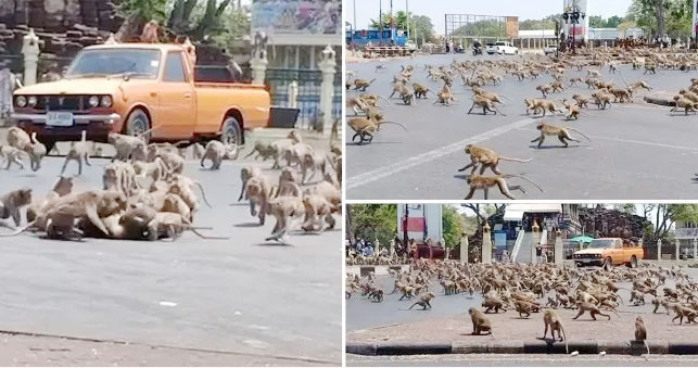 Monkeys in the city of Lopburi, in central Thailand, are normally fed by tourists who are staying away as a result of coronavirus (Picture: Viral Press)