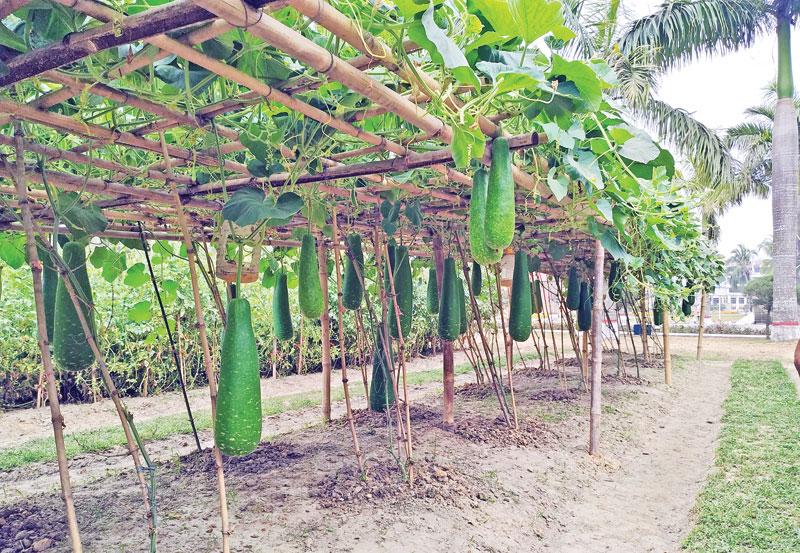 BSMRAU develops all-season bottle-gourd varieties