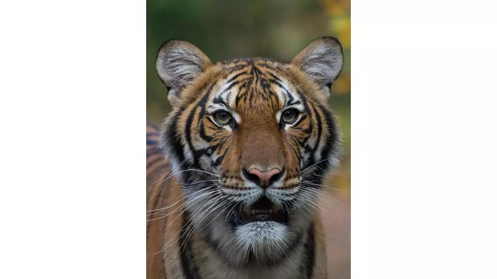 The Malayan tiger Nadia who tested positive for COVID-19 JULIE LARSEN MAHER Wildlife Conservation Society/AFP