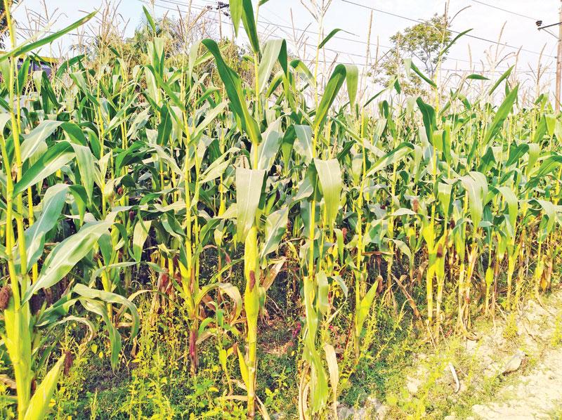 Dighinala farmers shifting to maize farming from tobacco