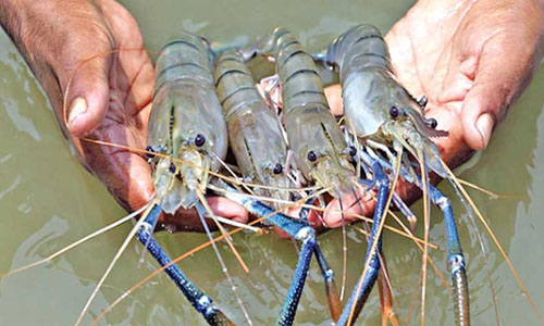 Lower shrimp price frustrates Dumuria farmers