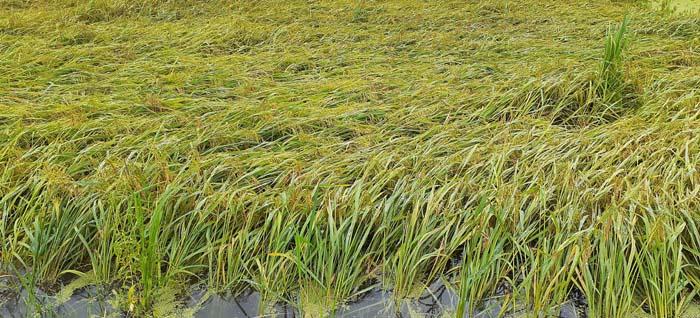 Cyclone Amphan causes huge losses to crops in Phulbari