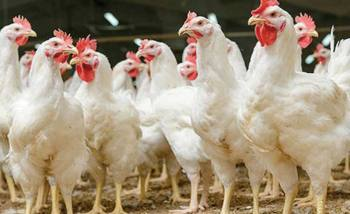 Broiler chicken price drops Tk 40 per kg in one day