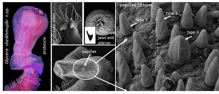 NSTU teacher discovers new species of invertebrate animals